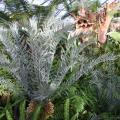 medium_Encephalartos horridus.JPG